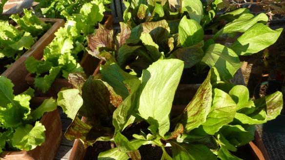 Deli Truck lettuce