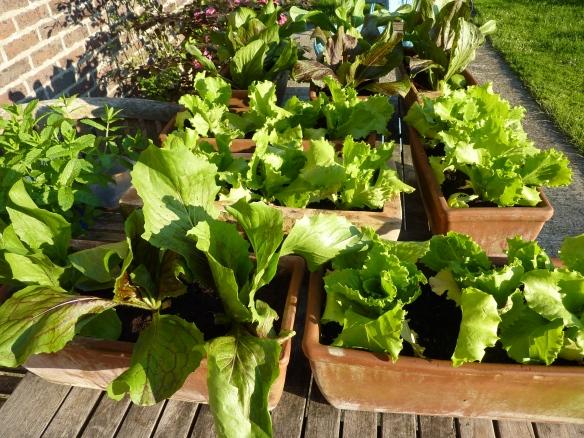 Deli Truck organic Lettuce farm