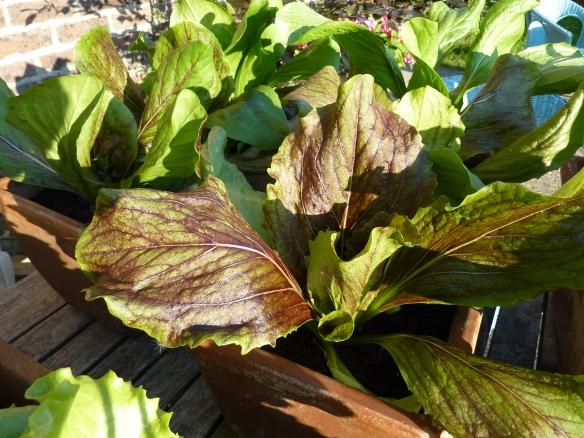 Deli Truck lettuce organic
