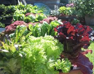 Lettuce_leafs_WR